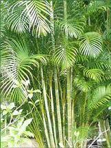 palmera Chrysalidocarpus lutescens