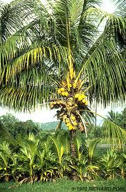 palmera Cocos nucifera