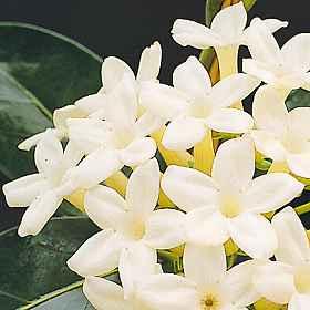 flores actinomorfas