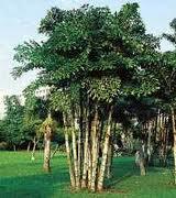 palmera Caryota urens