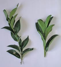 hojas connatas