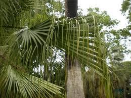palmera Livistona chinensis