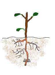 Raíz axonomorfa