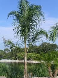 palmera Arecastrum romanzoffianum