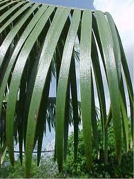 hojas lineales