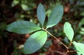 hojas enteras