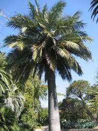 palmera Jubaea chilensis