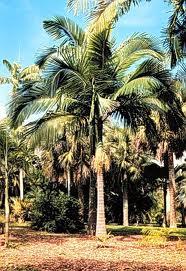 palmera Archontophoenix alexandrae