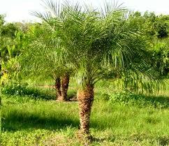 palmera Phoenix roebelenii