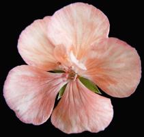 flores dialipetalas