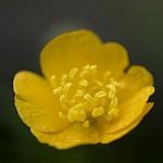 flores dialisepalas