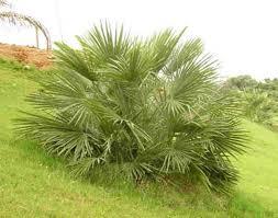 palmera Chamaerops humilis